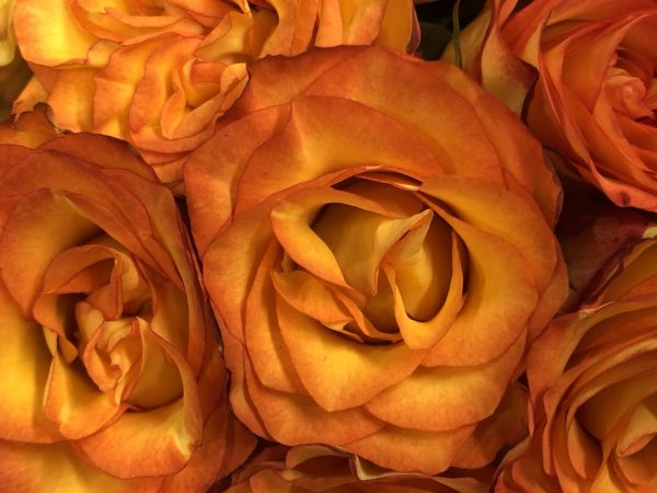 Ocre roses
